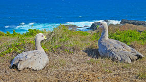 Pair of wild cape barren geese in australia Stock Photography