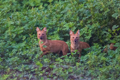 Pair of wild dogs charging. Rare and endangered wild dog sighted in karnataka state of India Stock Images