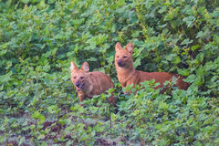Pair of wild dogs leaping Royalty Free Stock Image