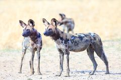 African Wild Dogs standing on the dry arid african plains looking very alert.  South Luangwa National  Park, Zambia Stock Photography
