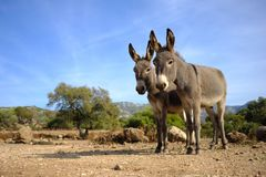 Pair of wild donkeys in Sardinia royalty free stock images