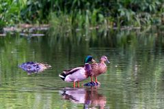 Pair of wild ducks or Anas platyrhynchos. Pair of wild duck or mallard or Anas platyrhynchos on river Stock Images