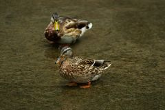 A pair of wild ducks on the ooze. A pair of wild ducks on a deserted silty bank of a pond stock photo