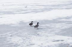 A pair of wild ducks on the ice frozen pond. Wild animal Royalty Free Stock Images