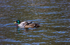 Pair of wild ducks Royalty Free Stock Image
