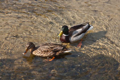 Pair of wild ducks, mallards, swiming in pond. Pair of wild ducks, mallards, swiming in a spring pond Royalty Free Stock Photos