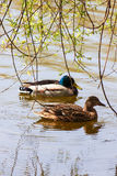 Pair of wild ducks. On the pond Royalty Free Stock Images