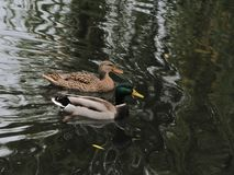 A pair of wild ducks on a pond stock photo