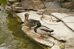 A pair of wild ducks on the rocks of an artificial pond Royalty Free Stock Images