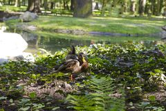 Pair of wild ducks sitting near pond. On summer day Stock Images