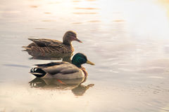 Pair of wild ducks swimming on a lake Stock Photography