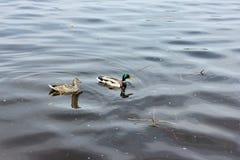 A pair of wild ducks Royalty Free Stock Photo