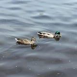A pair of wild ducks Stock Photo