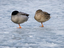 Pair of wild ducks in winter Royalty Free Stock Images
