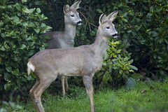 A Pair of Wild Female European Roe Deer in front of rhododendron Bushes Royalty Free Stock Photos