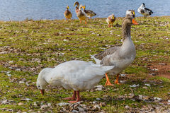 A pair of wild geese and ducks at the lake. Taken at Lake Canobolas, Orange, New South Wales, Australia Stock Photography