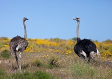 Pair of wild giant Ostrich walks in the blossoming yellow fields near Cape Town . South Africa stock image