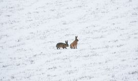 Two Hares in the Snow. A pair of wild hares play together in a snowy field in the UK in March Royalty Free Stock Image