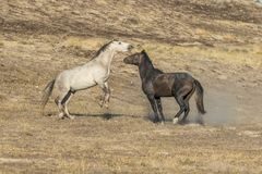 Wild Horse Stallions Face off. A pair of wild horse stallions facing off in the Utah desert Stock Photos