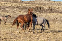 Pair of Wild Horse Stallions Fighting in the Desert. A pair of wild horse stallions fighting int he Utah desert stock image