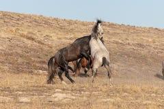Pair of Wild Horse Stallions Fighting in the Desert. A pair of wild horse stallions fighting in the Utah desert stock photo