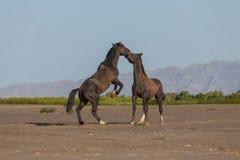 Pair of Wild Horse Stallions Fighting in the Desert. A pair of wild horse stallions fighting in the Utah desert in spring stock photography