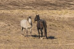 Wild Horse Stallions Facing Off. A pair of wild horse stallions fighting for dominance in the Utah desert Royalty Free Stock Photography