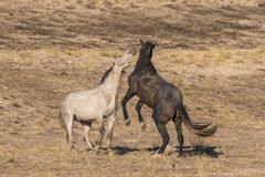 Wild Horse Stallions Fighting. A pair of wild horse stallions fighting for dominance in the Utah desert Royalty Free Stock Image