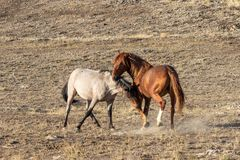 Pair of Wild Horse Stallions Fighting. A pair of wild horse stallions fighting int he Utah desert stock photography