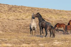 Pair of Wild Horse Stallions Sparring. A pair of wild horse stallions fighting int he Utah desert royalty free stock photo