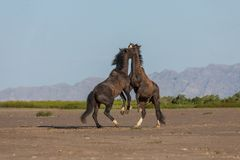 Pair of Wild Horse Stallions fighting. A pair of wild horse stallions fighting int he Utah desert in spring stock photo