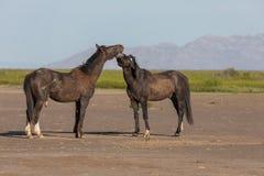 Pair of Wild Horse Stallions Fighting in Utah. A pair of wild horse stallions fighting int he Utah desert in spring royalty free stock image