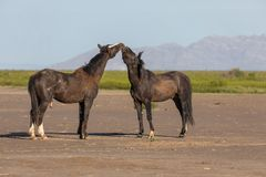 Pair of Wild Horse Stallions in Utah. A pair of wild horse stallions fighting int he Utah desert in spring royalty free stock photo