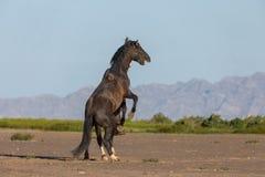 Wild Horse Stallions fighting. A pair of wild horse stallions fighting int he Utah desert in spring stock photo