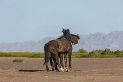 Wild Horse Stallions Fighting in Utah. A pair of wild horse stallions fighting int he Utah desert in spring royalty free stock image