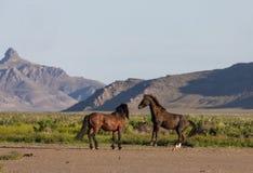 Wild Horse Stallions Sparring. A pair of wild horse stallions fighting int he Utah desert in spring stock image