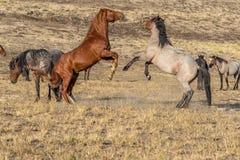 Wild Horse Stallions Fighting in the Utah Desert. A pair of wild horse stallions fighting int he Utah desert royalty free stock image