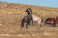 Wild Horse Stallions Sparring in the Desert. A pair of wild horse stallions fighting int he Utah desert stock photo
