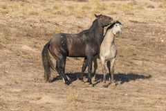 Pair of Wild Horse Stallions Fighting. A pair of wild horse stallions fighting for dominance in the Utah desert Royalty Free Stock Photo