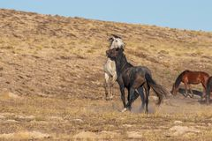 Pair of Wild Horse Stallions Fighting. A pair of wild horse stallions fighting int he Utah desert royalty free stock photography