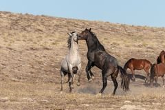 Pair of Wild Horse Stallions Fighting. A pair of wild horse stallions fighting in the Utah desert stock photo