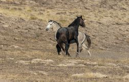 Pair of Wild Horse Stallions Fighting. A pair of wild horse stallions fighting in the Utah desert stock images