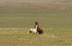 Pair of Wild Horse Stallions Fighting. A pair of wild horse stallions fighting in the Utah desert royalty free stock photos