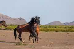 Pair of Wild Horse Stallions Fighting. A pair of wild horse stallions fighting in the Utah desert in spring royalty free stock photo