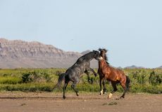 Pair of Wild Horse Stallions fighting. A pair of wild horse stallions fighting in the Utah desert in spring stock images