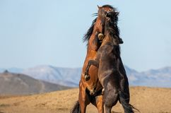 Pair of Wild Horse Stallions fighting. A pair of wild horse stallions fighting in the Utah desert in spring stock photo