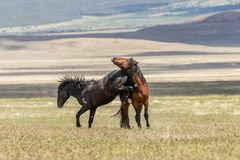 Pair of Wild Horse Stallions Fighting. A pair of wild horse stallions fighting in the Utah desert royalty free stock image