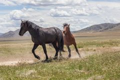 Pair of Wild Horse Stallions Sparring. A pair of wild horse stallions fighting in the Utah desert royalty free stock photos