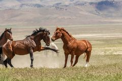 Wild Horse Stallions Sparring stock photography