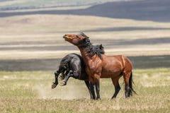 Wild Horse Stallions Sparring in Utah. A pair of wild horse stallions fighting in the Utah desert stock photos
